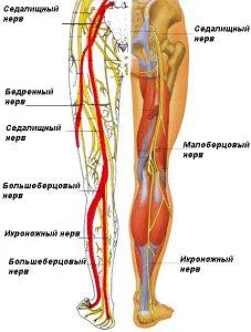 структура-седалищного-нерва